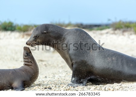 Out of focus Sea Lion mother and child on Genovesa Island in the Galapagos Islands in Ecuador - stock photo