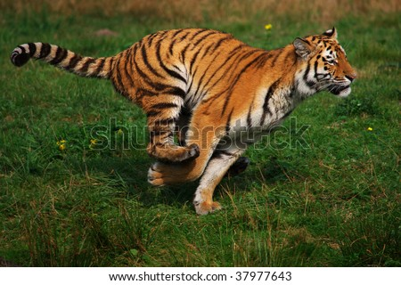 Out of the water coming running Siberian Tiger - stock photo