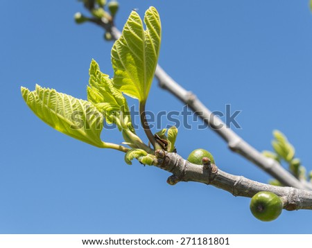 Outbreaks of a fig tree in spring - stock photo