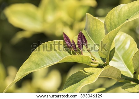 Outbreaks of lemon leaves - stock photo
