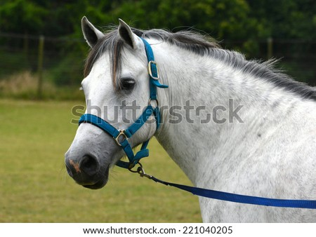Outdoor face portrait of a beautiful dapple gray Welsh cob pony with attentive facial expression, wearing a blue halter and lead, on blurry green background.