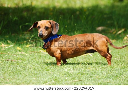 Outdoor full body side view of a little Dachshund dog with staring facial expression standing in the wind with flying ears in front of blurry green grass background. - stock photo