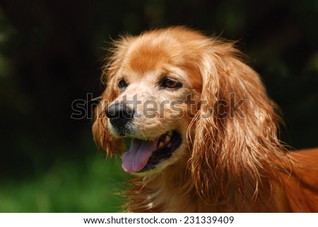 Outdoor head portrait of a cute little brown Cocker Spaniel mix with happy facial expression and wet fur on ears staring in front of blurry green background.