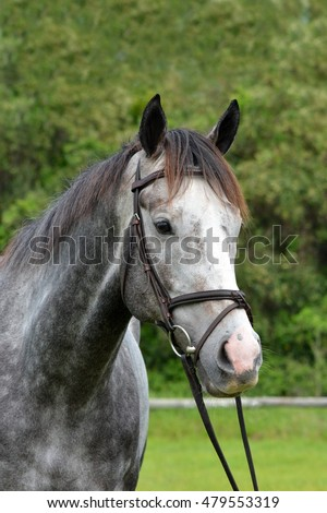 Outdoor head portrait of a South African thoroughbred dapple gray race horse with alert facial expression.