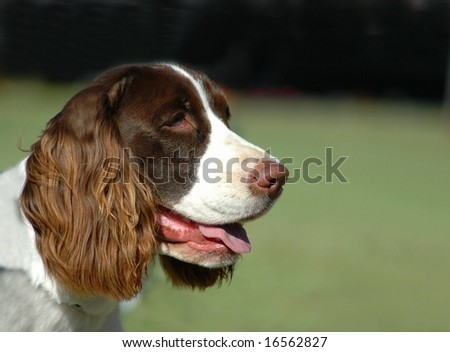 Outdoor head profile portrait of a beautiful adult brown and white English Springer Spaniel staring - stock photo