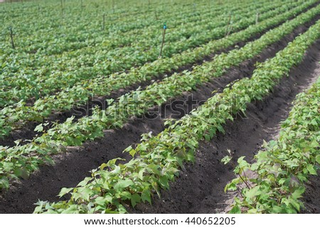Outdoor photo of soybean plants in a field,soybean field with rows of soya bean plants, selective focus, natural color picture style - stock photo
