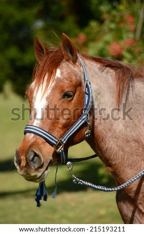 Outdoor portrait of a strawberry-roan pony with harness in front of blurry green background.