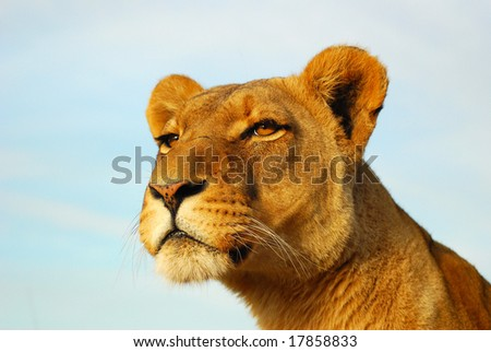 Outdoor portrait of Lioness staring - stock photo
