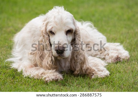 outdoor portrait of lying english cocker spaniel, european champion, breeding station