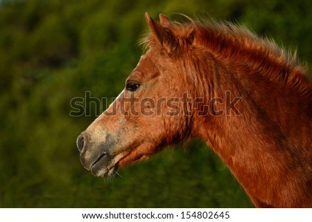 Outdoor profile portrait of an old chestnut pony with attentive facial expression.