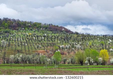 Row Dogwood Trees Blossoming Spring Season Stock Photo