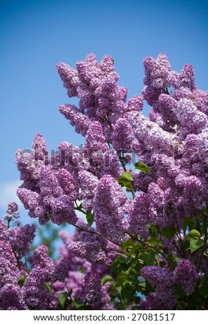 Outdoor setting of fragrant lilac blossoms. Some of the blossoms show a light dusting of pollen. - stock photo