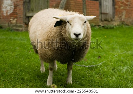 Outdoor sheep portrait looking at camera - stock photo
