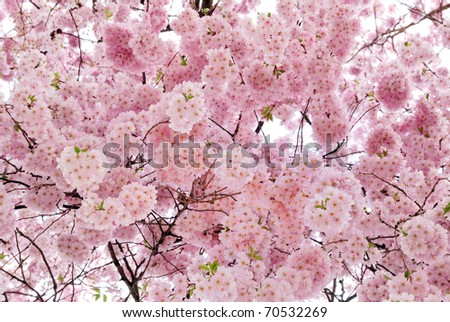 Outdoor shot filled with beautiful cherry blossoms in their smooth pink tones - stock photo