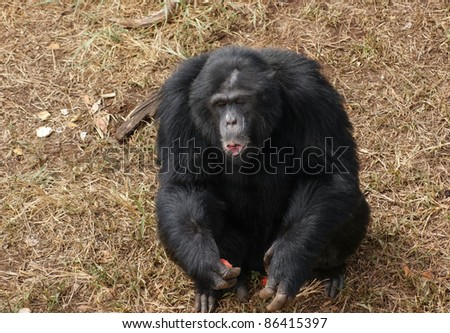 Outdoor shot in Uganda (Africa) showing a chimpanzee sitting on brown grassy ground while eating some fruits - stock photo