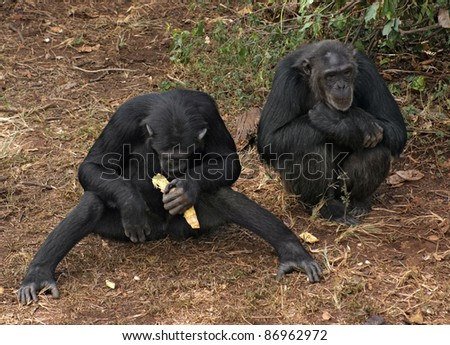 Outdoor shot in Uganda (Africa) showing two chimpanzees while sitting on the ground - stock photo