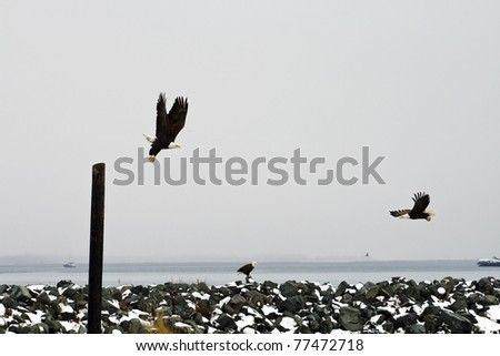 Outdoor Winter Scene with Multiple Bald Eagles - stock photo