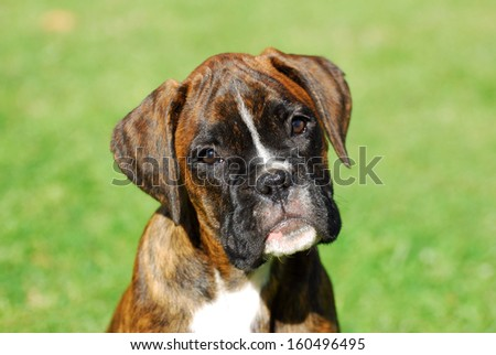 Outdor portrait of a beautiful purebred Boxer puppy with cute facial expression on green grass background. - stock photo