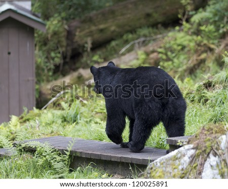 Outhouse Break - Looks like this black bear is headed to the outhouse. Anan Creek, Wrangell, Alaska - stock photo