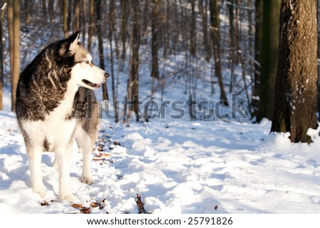Outside report of a husky dog in the snow
