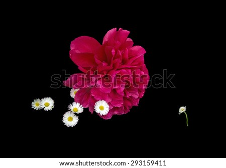 Outsider concept. Anthropomorphic bullying or school concept with red peony (teacher) and small white daisies (pupils) scene isolated on black. - stock photo