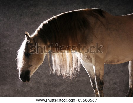 outstanding andalusian stallion in studio - stock photo