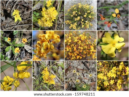 Outstanding collage of rare yellow wild flowers  cowslip orchid, guinea flower, wattle, orange stars donkey orchid   and conostylus  of Manea Park  Bunbury Western Australia  in glorious spring bloom.