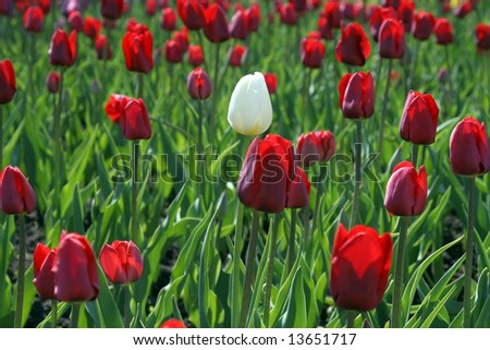 Outstanding specimen - one white tulip among many red ones - stock photo