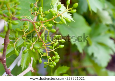 Ovary grapes. Bunch of grapes after flowering