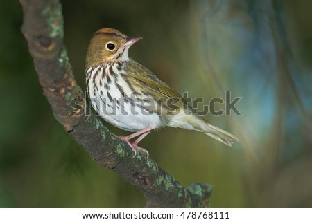 Ovenbird perched on a branch.