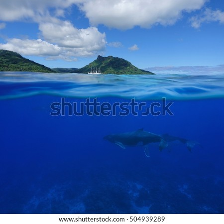 Over and underwater sea, humpback whales with an island and a cruise ship at the horizon split by waterline, Pacific ocean, French Polynesia
