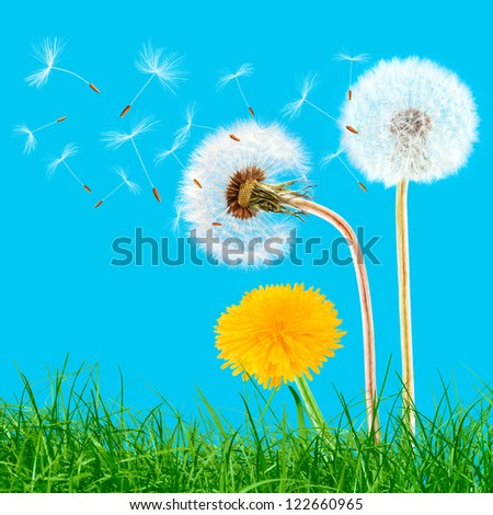 Overblown and yellow dandelions in the grass on the blue sky - stock photo