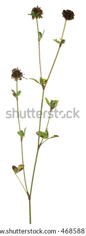 Overblown clover isolated on white background
