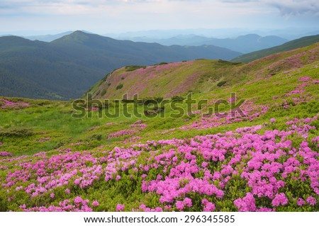 Overcast morning in early summer. Flowers pink rhododendrons on the mountain slopes. Carpathian Mountains, Ukraine - stock photo