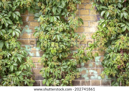 overgrown  Boston ivy brick wall for backgrounds. - stock photo