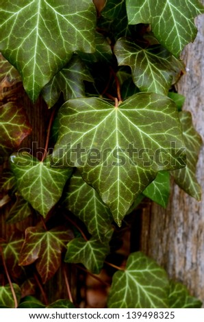 Overgrown Ivy Leaves On A Wooden Garden Fence - stock photo