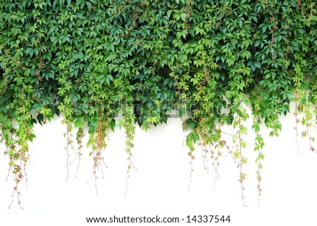 Overgrown wall with green twines.