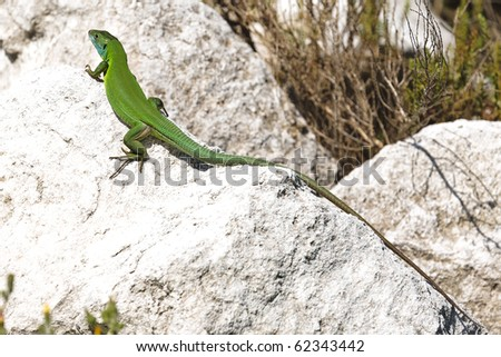 Overhead view of long tailed green lizard on white rocks. - stock photo