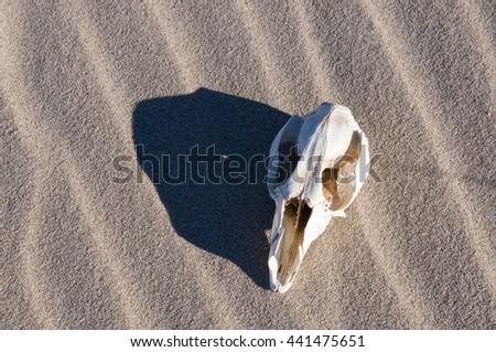 Overhead view of oblong kangaroo skull on windblown beach sand in Western Australia/Kangaroo Skull/Wildlife Abstract, Western Australia - stock photo