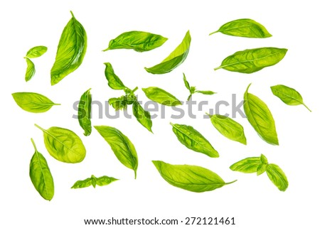 Overhead view scattered fresh sweet basil leaves, isolated on white background. - stock photo