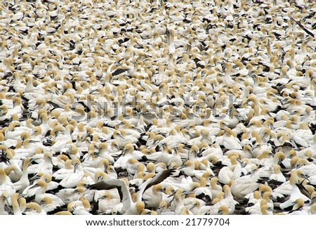 Overpopulation - gannets on bird island, Lambert Bay, South Africa - stock photo