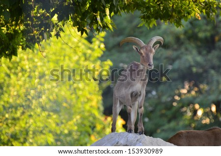 Ovis musimon, Ibex in Aiguilles Rouges Reservation, France - stock photo