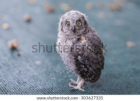 Owl baby fell from the nest in forest