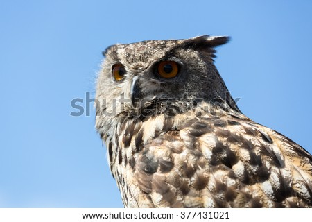 Owl -  bird from the order Strigiformes - stock photo