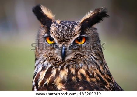 owl (bubo bubo) - stock photo
