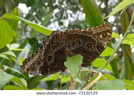 Owl Butterflies of the Genus species Caligo eurilochus Mating - stock photo