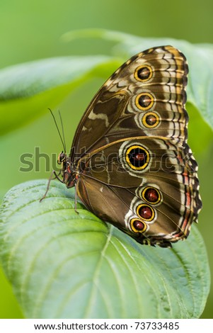 Owl Butterfly. - stock photo