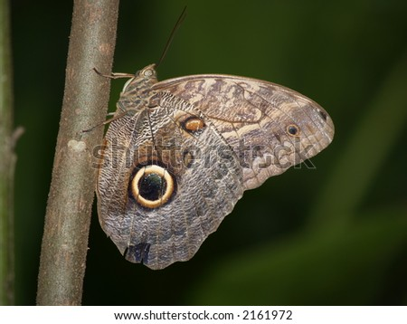 Owl Butterfly (caligo eurilochus sulanus) from costa rica - stock photo