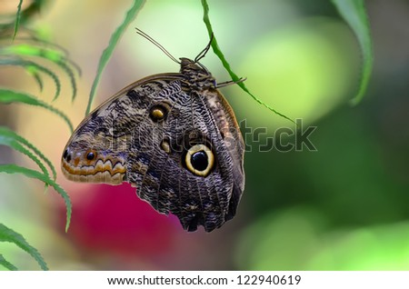 Owl butterfly (Caligo) is a large, tropical butterfly, named for eyespots on the underside of the lower wing. - stock photo