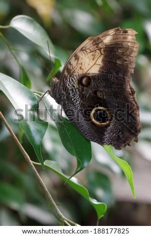 Owl Butterfly (caligo memnon) - stock photo